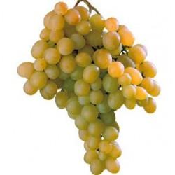 Uva da tavola igp, uva italia
