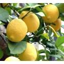 Limone Interdonato IGP